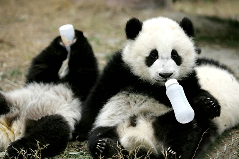 4-Панды-крохи пьют молоко из бутылки, Китай