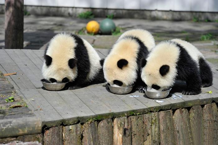 9-Обед больших панд в китайском питомнике